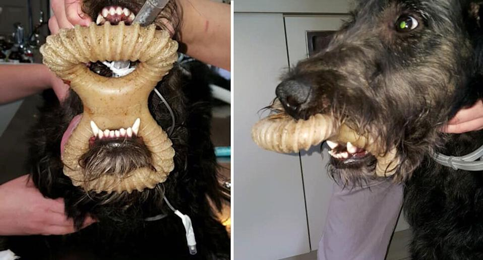 Dublin Veterinary Hospital shared a photo of a dangerous dog toy lodged around a dogs jaw. Source: Facebook/Dublin Veterinary Hospital