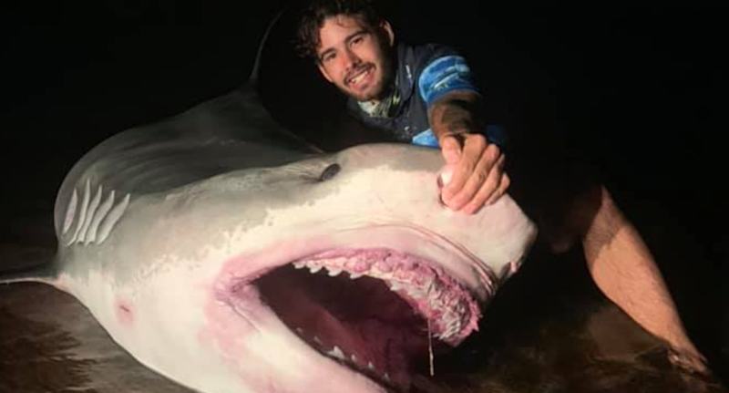 A man holding a beached tiger shark with it's mouth open.