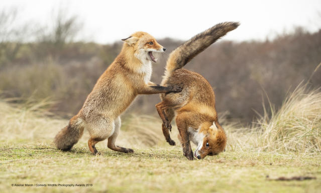 "Tra le altre foto vincitrici c'è il ""valzer andato storto"" tra due volpi in Olanda ©Alastair Marsh / Comedy Wildlife Photography Awards 2019"