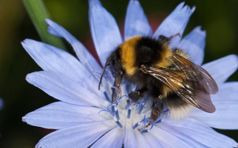 Bees like purple and blue flowers because they find them easier to see - Credit: Alamy