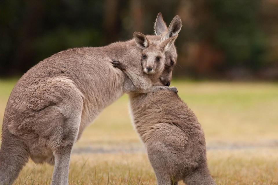 "It's easy to get a kick out of kangaroos thanks to their impressive hopping abilities, but Australia is facing a problem when it comes to the multiplying marsupials. In recent years, the number of kangaroos has <a href=""https://www.cnn.com/2018/07/30/australia/australia-canberra-kangaroo-boom/index.html"" rel=""nofollow noopener"" target=""_blank"" data-ylk=""slk:nearly doubled down under"" class=""link rapid-noclick-resp"">nearly doubled down under</a>, from about 27 million in 2010 to almost 45 million in 2016. In order to deal with the population that's quickly gotten out of control, experts are encouraging residents to <a href=""https://www.news.com.au/technology/science/animals/experts-warn-australians-need-to-eat-more-kangaroos-as-the-marsupials-population-booms/news-story/9465175b998f4b88b505997b086603e1"" rel=""nofollow noopener"" target=""_blank"" data-ylk=""slk:eat the kangaroos"" class=""link rapid-noclick-resp""><em>eat</em> the kangaroos</a>."