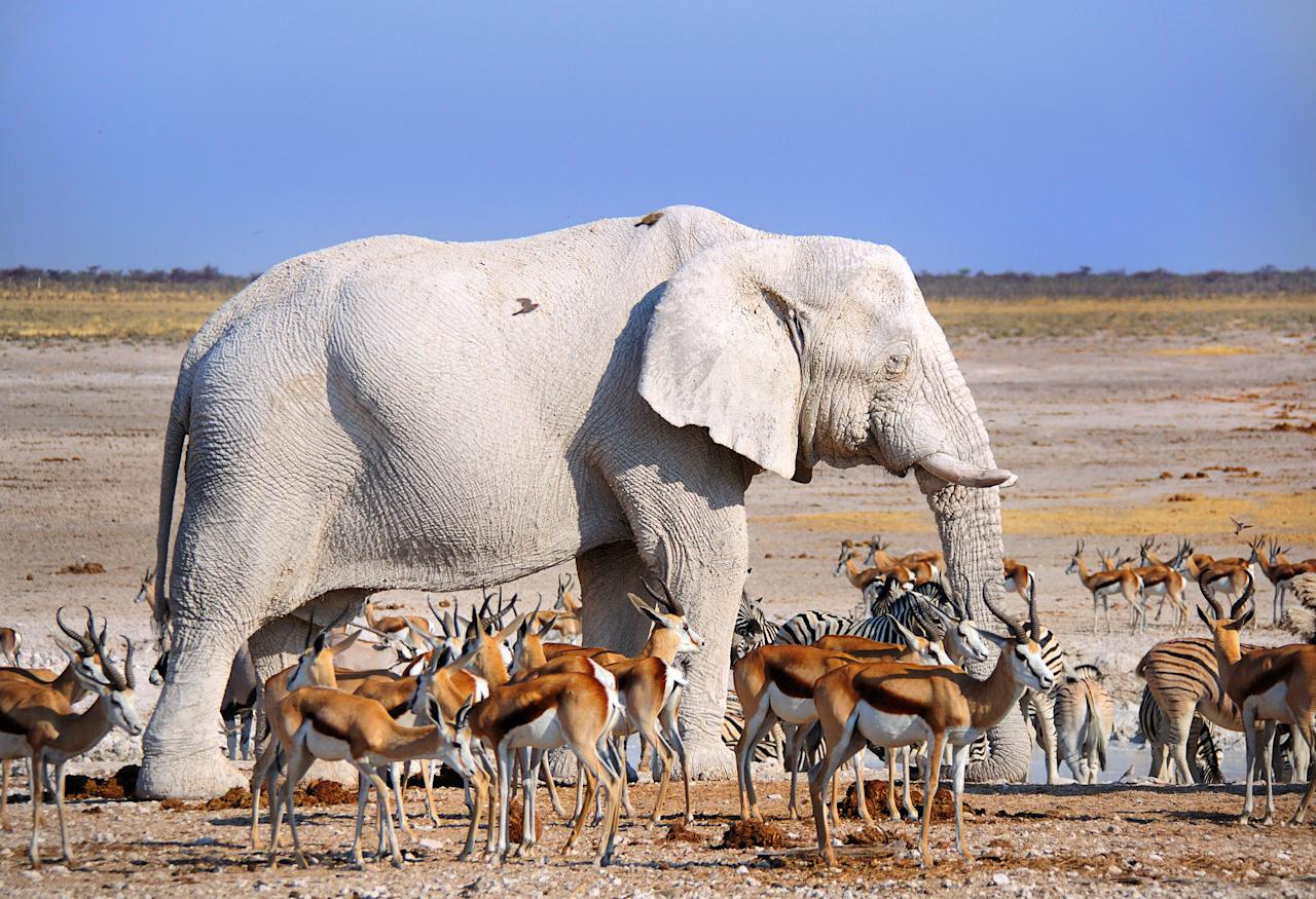 <p>A white elephant standing with a group of gazelles. (Photo: Anatoly Berman/Caters News) </p>