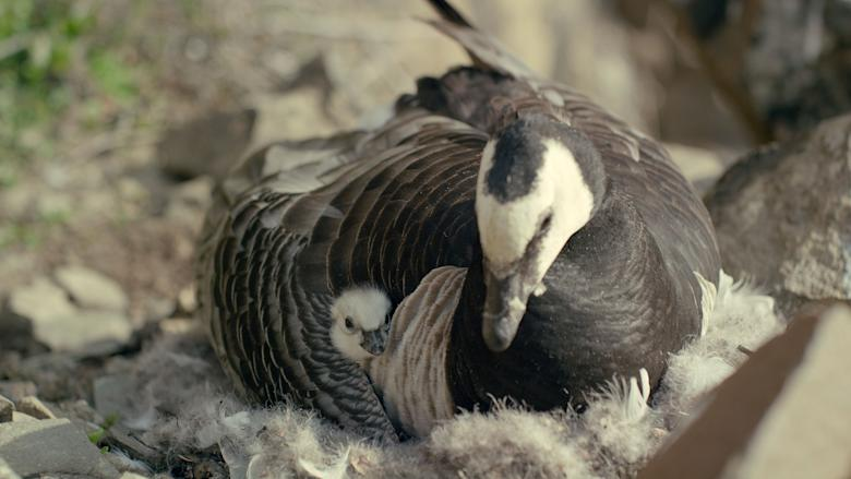 Female barnacle goose broods a newly-hatched chick under her wing. (National Geographic)
