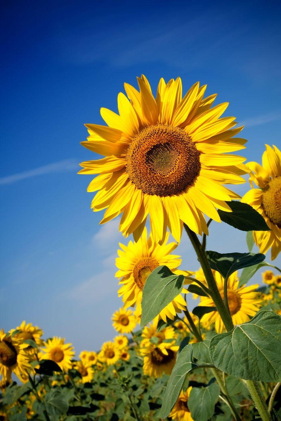 """<p>Legend has it that when Spanish explorers reached the Americas, they thought <a href=""""https://www.goodhousekeeping.com/home/gardening/a32638/sunflower-fun-facts/"""" rel=""""nofollow noopener"""" target=""""_blank"""" data-ylk=""""slk:sunflowers"""" class=""""link rapid-noclick-resp"""">sunflowers</a> were made of real gold. Can you blame them? Of course, they were wrong. That's where the sunflower got its symbolism of """"false riches."""" </p>"""
