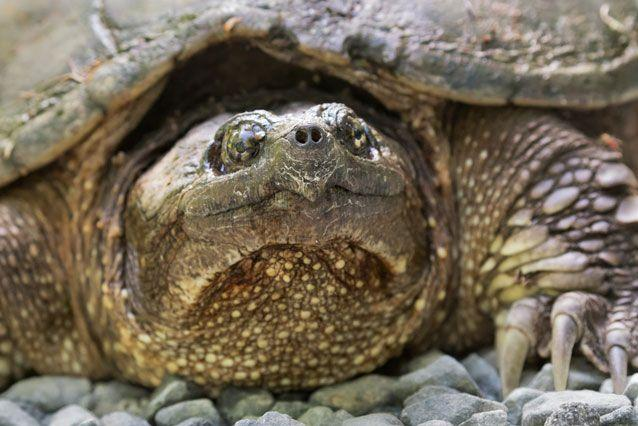 A snapping turtle native to the US. File pic. Source: Getty Images
