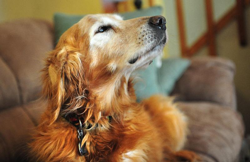 """This March 27, 2013 photo shows Wayne Klinkel's golden retriever, Sundance, at their home in Montana City, Mont. Klinkel says his dog ate five $100 bills while he and his wife were on a road trip to visit their daughter. Klinkel says he carefully picked through the dog's droppings, and his daughter recovered more when snow melted. He says he washed the remnants of the bills and taped them together and sent them to the Treasury Department's Bureau of Engraving and Printing with an explanation of what happened. The bureau's website says an """"experienced mutilated currency examiner"""" will determine if at least 51 percent of a bill is present and eligible for reimbursement. The process can take up to two years. (AP Photo/The Independent Record, Eliza Wiley)"""