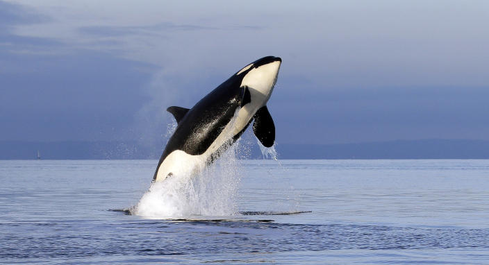FILE- In this Jan. 18, 2014, file photo, an endangered female orca leaps from the water while breaching in Puget Sound west of Seattle, Wash. A federal report released Friday, Feb. 28, 2020, rejected the idea of removing four hydroelectric dams on a major Pacific Northwest river in a last-ditch effort to save threatened and endangered salmon. Scientists also warn that southern resident orcas are starving to death because of a dearth of the chinook salmon that are their primary food source. Dam removal could increase the numbers of two key stocks of chinook salmon for orcas. (AP Photo/Elaine Thompson, File)