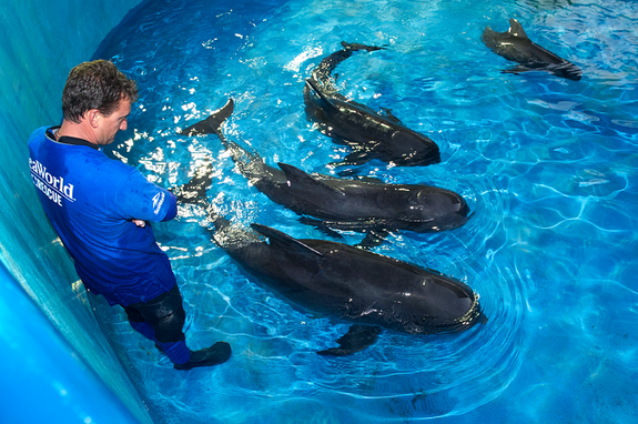 SeaWorld animal rescue team member Brant Gabriel supervises four juvenile pilot whales in the rehab pool at SeaWorld Orlando's quarantine area. The whales are the only surviving whales from a mass stranding event on Saturday, September 1, that