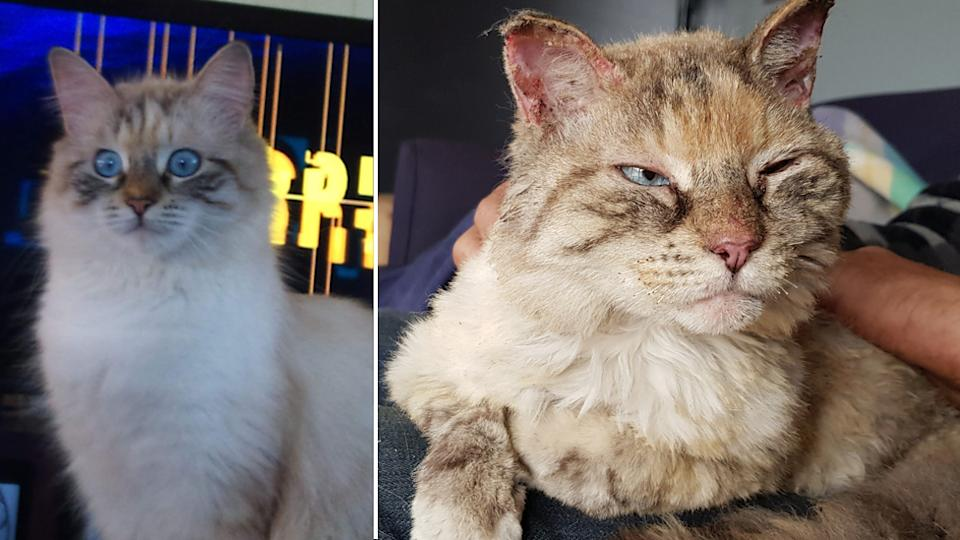 Angel the cat that survived the bushfires in NSW Bega Valley.