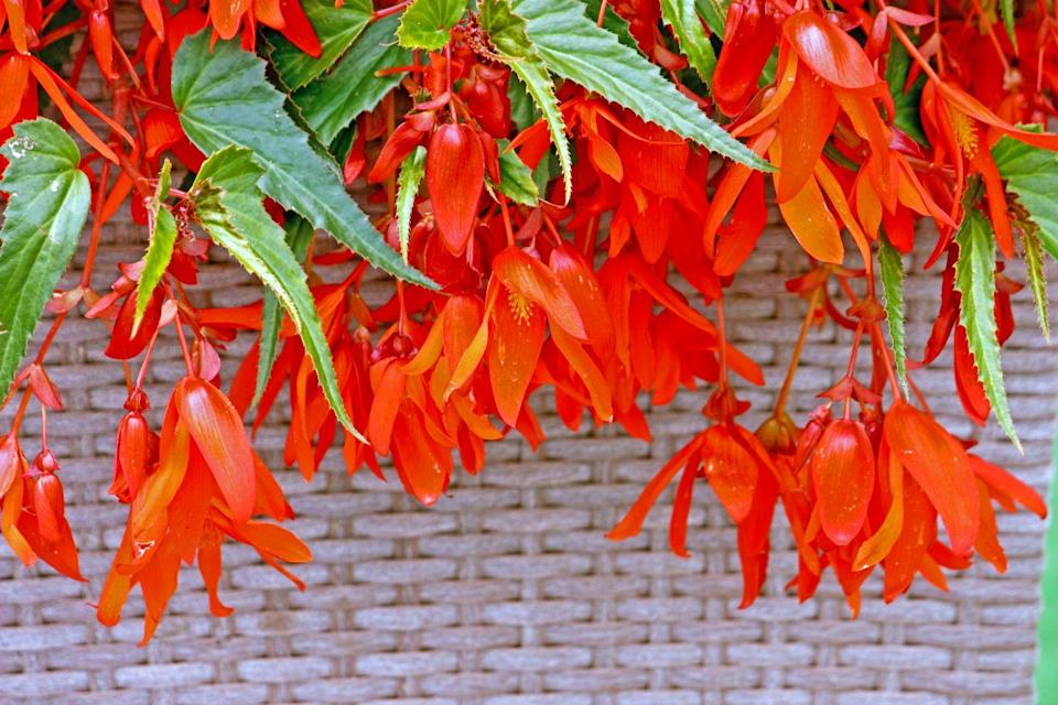 <p>This hanging begonia breed looks the most alluring because of its unique, angel-wing-shaped leaf. Just one of these hummingbird-friendly plants can fill a whole container, whether in sun or shade. </p><p><strong>Zones: 9-11</strong></p>