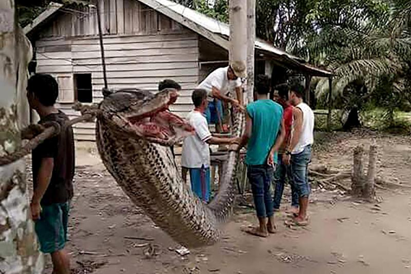 The enormous reptile was put on display in the village: AFP/Getty Images