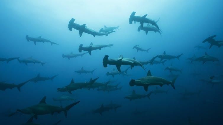 Large school of hammerhead sharks seen underwater.