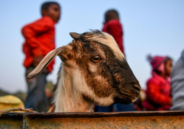 An estimated 200,000 animals,ranging from goats to rats, were slaughtered during the last two-day Gadhimai Festival in 2014