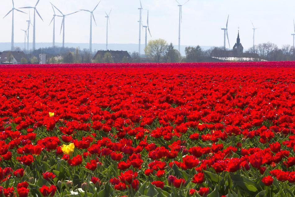 Flecks of yellow appear in a red tulip field against a background of windmills.