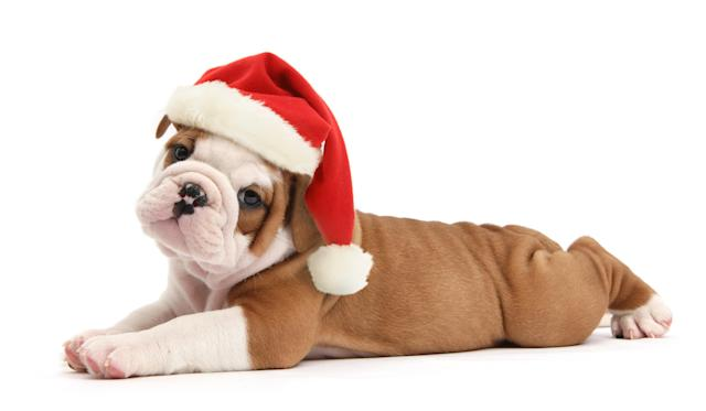 <p>Cute bulldog pup, 5 weeks old, lying stretched out. (Photo: Warren Photographic/Caters News) </p>