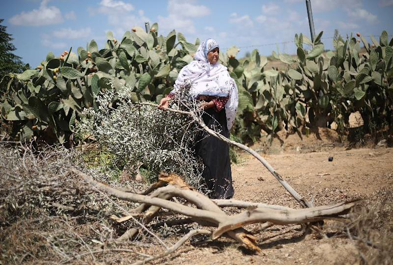 A Palestinian farmer holds a branch of an olive tree broken off by an Israeli army vehicle during the latest war between Hamas militants and Israel, at her family's field in the village of Khuzaa, in the southern Gaza Strip, on September 2, 2014 (AFP Photo/Said Khatib)