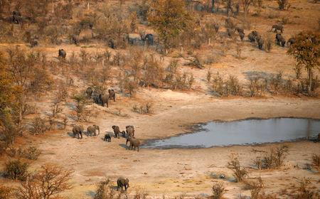 FILE PHOTO: A herd of elephants leaves a drinking spot in the Mababe area, Botswana, September 19, 2018. REUTERS/Siphiwe Sibeko/File Photo