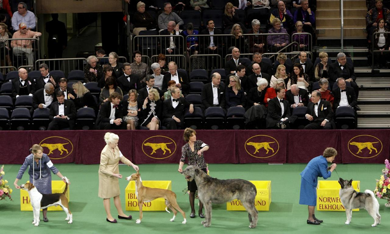 Dogs compete at the 136th annual Westminster Kennel Club dog show in New York, Monday, Feb. 13, 2012. (AP Photo/Seth Wenig)