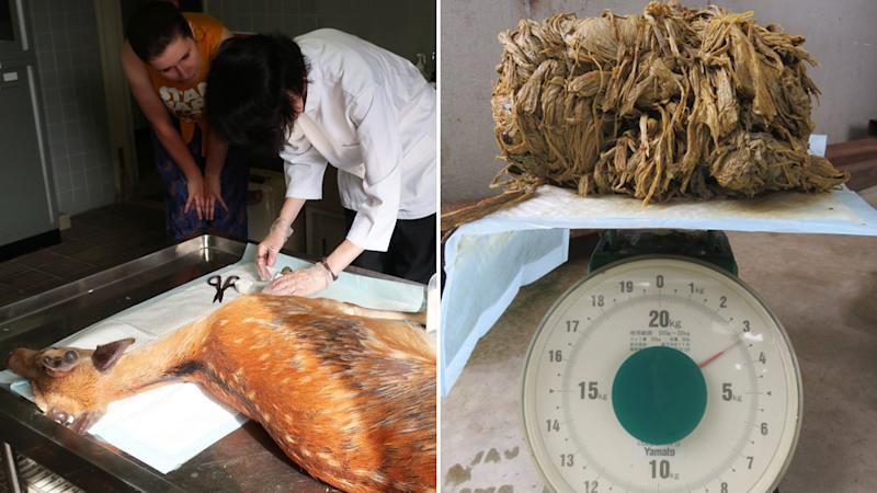 The deer being treated by vet staff (left) and the 3.2kg of plastic found inside the deer's stomach (right).