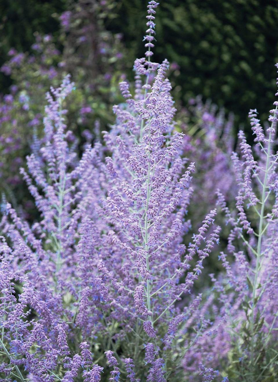 """<p>Include a minty addition to your outdoor space with these small spires of purple flowers. <a href=""""https://www.hgtv.com/outdoors/flowers-and-plants/planting-russian-sage"""" rel=""""nofollow noopener"""" target=""""_blank"""" data-ylk=""""slk:Russian sage"""" class=""""link rapid-noclick-resp"""">Russian sage</a> survives best in dry climates with plenty of intense sun light. </p><p><strong>When it blooms: </strong>Late spring through autumn</p><p><strong>Where to plant:</strong> Full sun</p><p><strong>When to plant: </strong>Late spring</p><p><strong>USDA Hardiness Zones:</strong> 5 to 9</p>"""