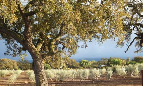 Tree of the week: 'Our olive tree is very expressive. It tells you when it's thirsty'