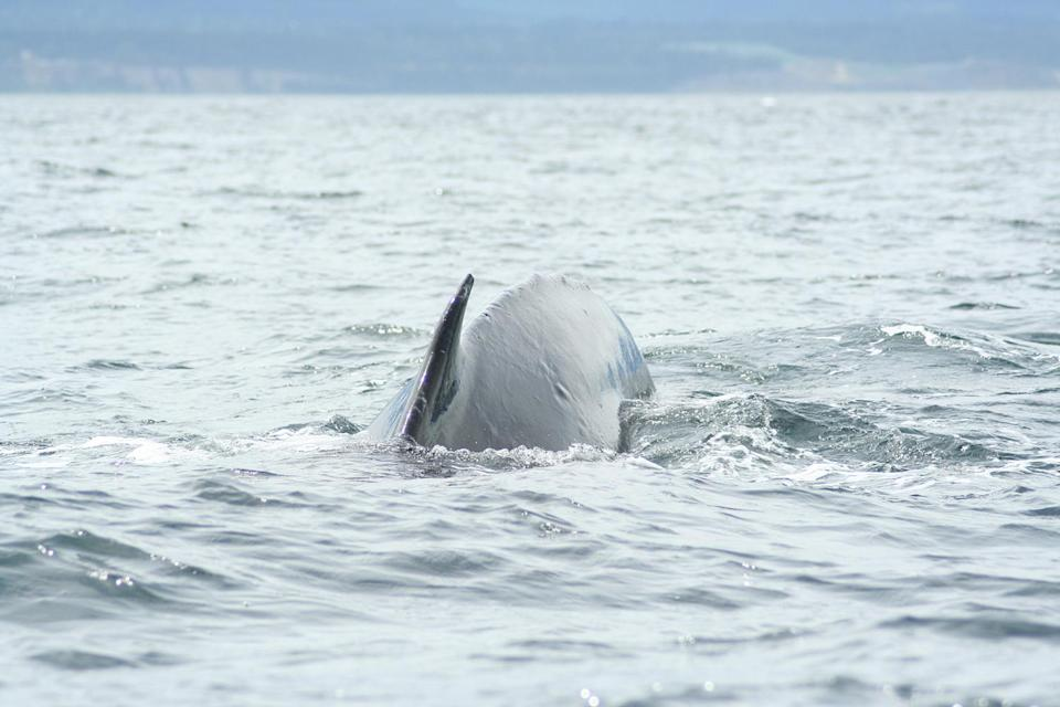 <p>The humpback whale curved its body under water showing us its small dorsal fin. </p>