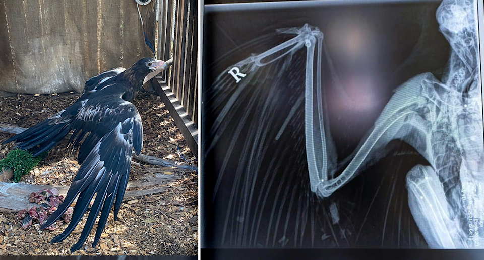 Left - the eagle in care. Right - an X-ray of the right wing of the eagle.
