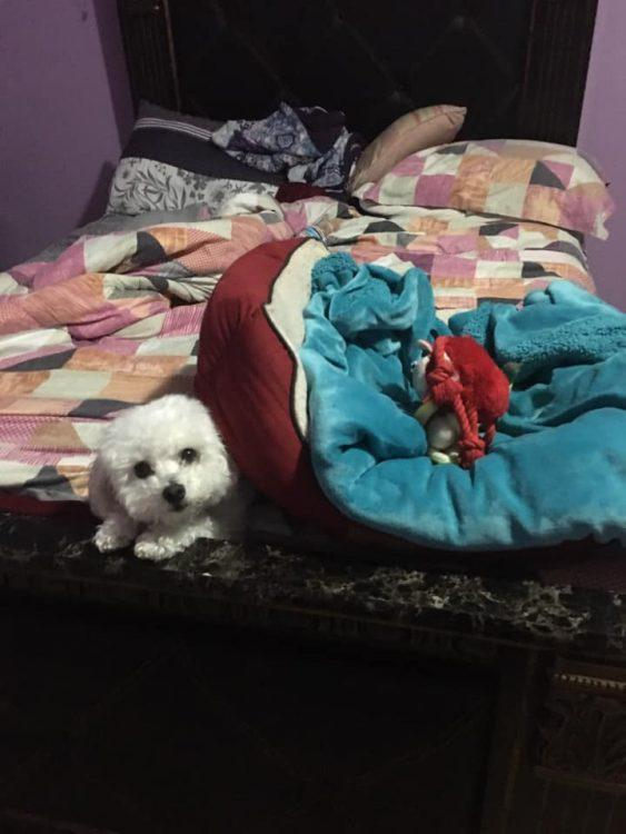 A small white dog under a dog bed.