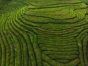 <p>This lush beauty is created by tea fields. </p>