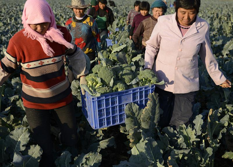 Workers collect cauliflowers for exporting at a farm in Juxian county in east China's Shandong province on Wednesday Oct. 17, 2012. China's economic growth tumbled to the lowest in more than three years in the latest quarter but retail sales and other activity accelerated in a sign a recovery from the painful downturn is taking shape. (AP Photo) CHINA OUT