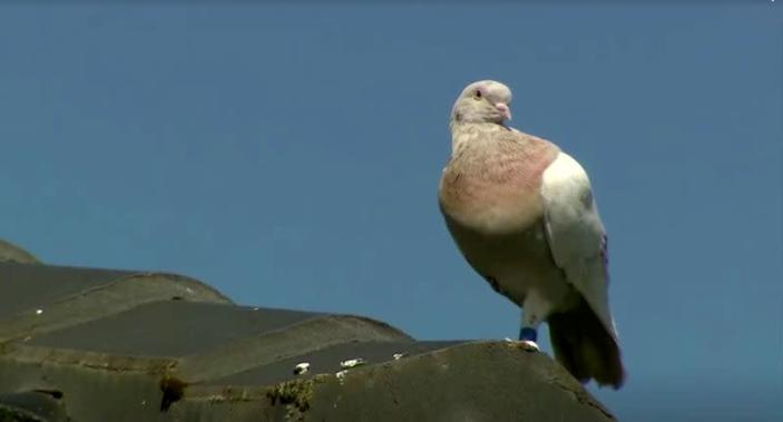 """""""Joe"""", a pigeon that reached Australia from the U.S., perches on the roof of a house in Melbourne, Australia"""