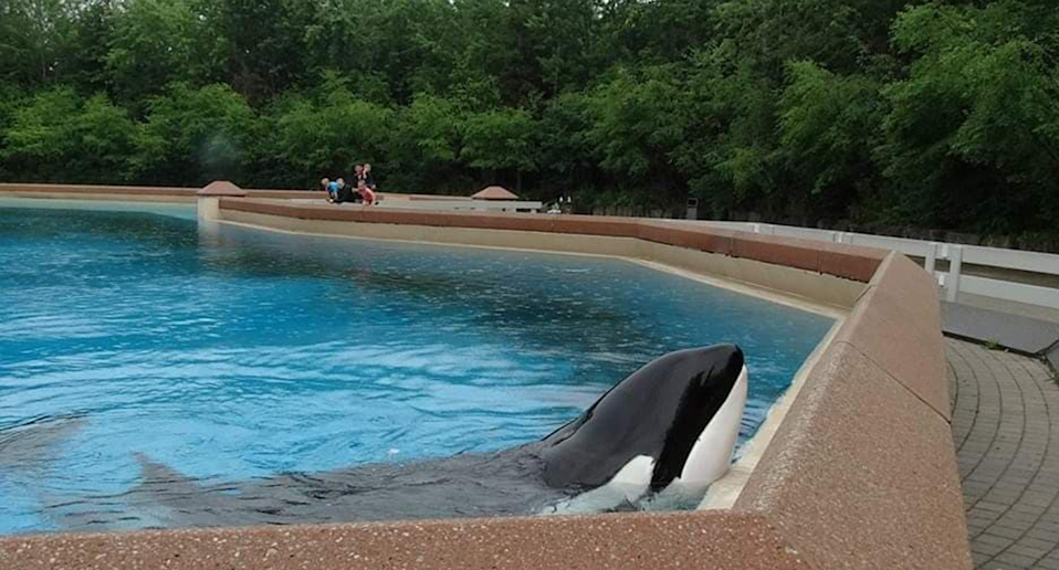 Kiska the orca pokes her head out of the water.