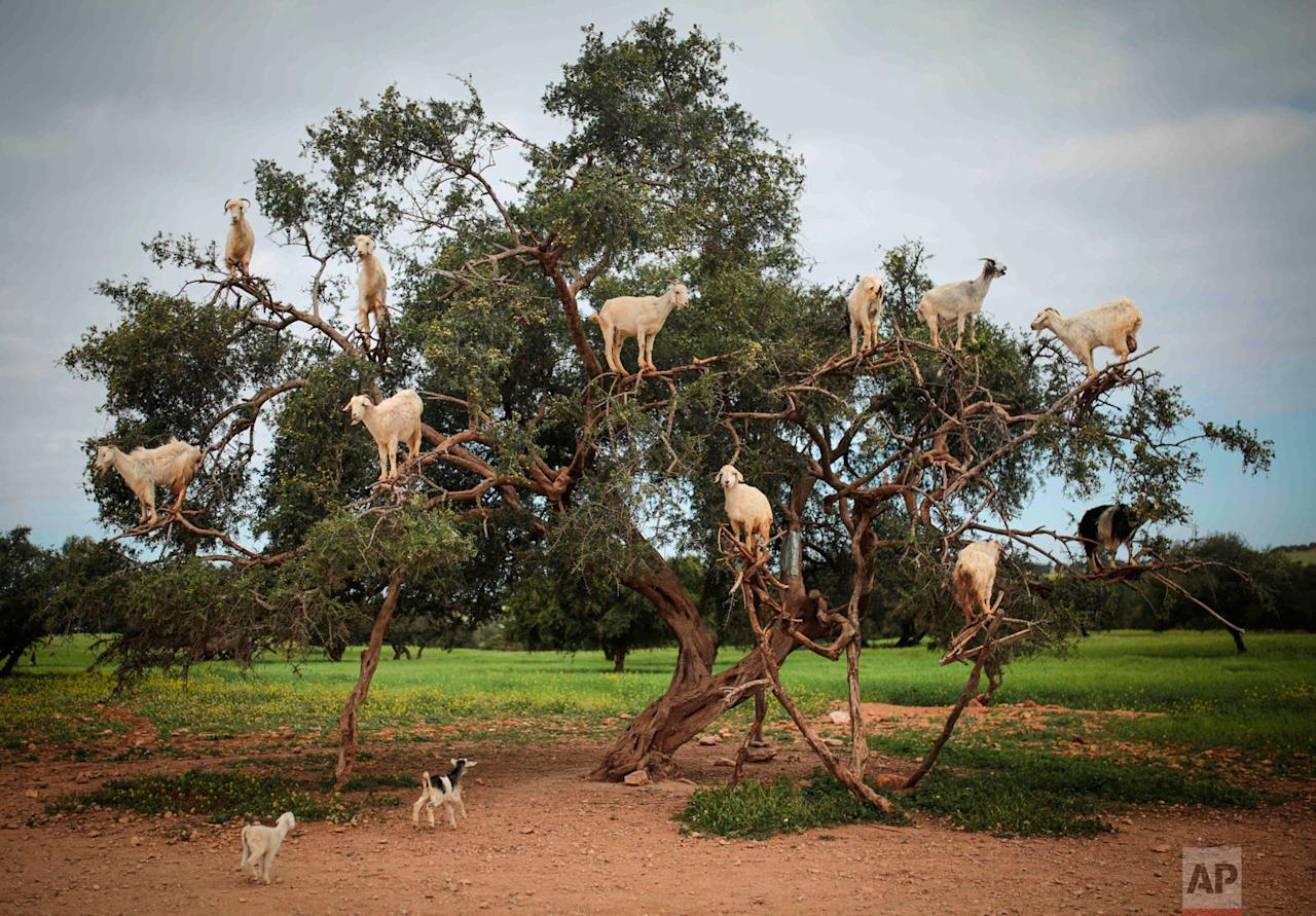 <p>Tree-climbing goats feed on an Argania Spinosa, known as an Argan tree, in Essaouira, southwestern Morocco. By eating the fruit and spitting out the seeds, the goats help in the process of manufacturing Argan oil. (AP Photo/Mosa'ab Elshamy) </p>