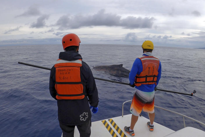 In this photo released by NOAA's Marine Mammal Health and Stranding Response Program, trained responders aboard the research and response vessel, Aloha Kai, watch over an entangled whale off the Hawaiian island of Maui, on March 9, 2021. A young humpback whale has been freed of about 100 feet of line entangled in its mouth and flipper. The National Oceanic and Atmospheric Administrations's Hawaiian Islands Humpback Whale National Marine Sanctuary coordinated the effort in partnership with local businesses and organizations, the Honolulu Star-Advertiser reported Wednesday, March 10, 2021. (NOAA MMHSRP permit #18786-05 via AP)