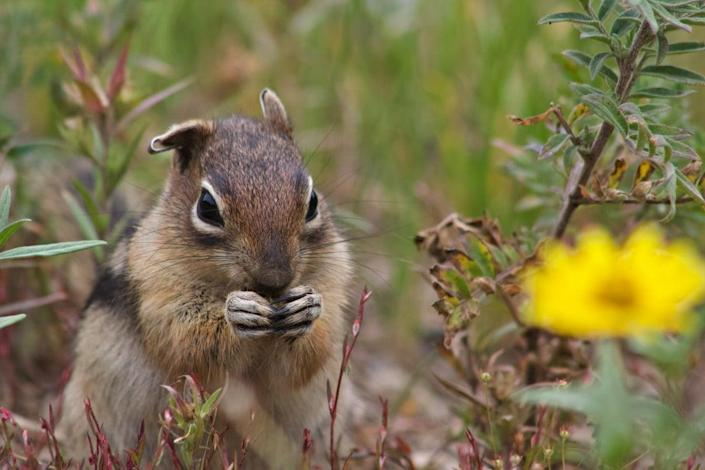 The study shows that bolder, more aggressive squirrels tend to find more food or defend a larger territory (Jaclyn Aliperti/UC Davis)