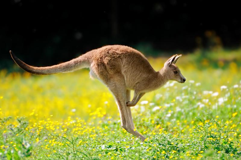 20 Kangaroos Killed in Australia in Alleged Hit and Run: It's 'Just Unbelievable'