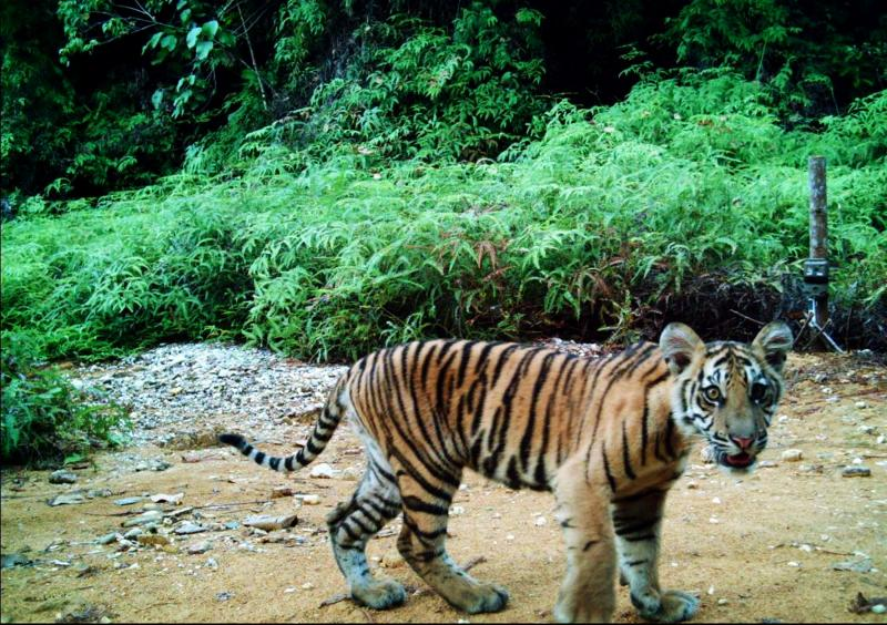 Young Sumatran tiger (Panthera tigris sumatrae) wandering around with its mother (not shown on the picture) in Rimbang Baling-Bukit Tigapuluh Corridor, Riau, Indonesia.