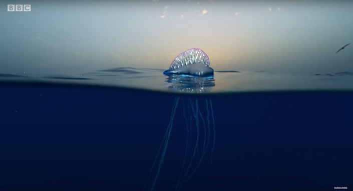 A Portuguese man o' war floating in the middle of the blue ocean.