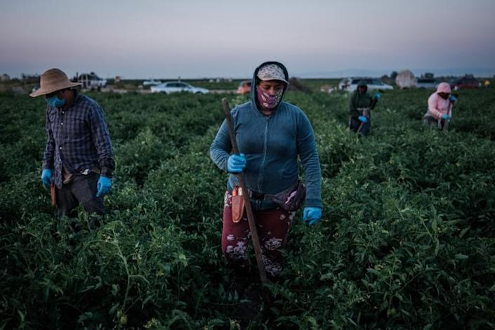Farmworkers weed a tomato field in French Camp, California on July 24, 2020. More than 70% of new cases of coronavirus in California's fertile San Joaquin valley are Latino workers, but advocates say they lack testing and access to care.