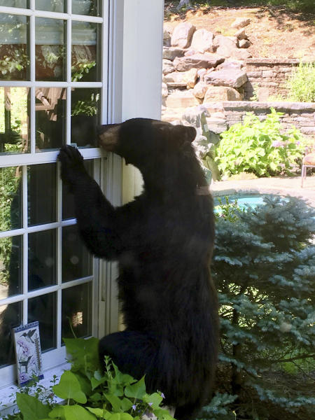 In this July 18, 2018 photo provided by Julie Sonlin, a black bear explores the yard of Steve and Julie Sonlin in Avon, Conn. The Sonlins said they get visits from bears several times a year and the state reports that human encounters with bears are on the rise. A wildlife biologist with the state Department of Energy and Environmental Protection says there have been about two dozen reports this year of bears breaking into Connecticut homes and businesses, about four times the yearly average. (Julie Sonlin via AP)