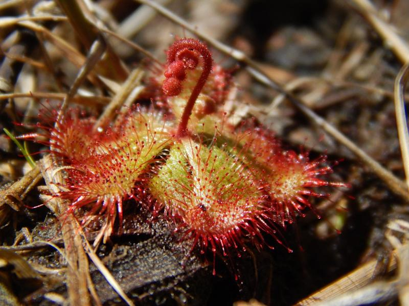 Botanists recently confirmed the discovery of a dwarf sundew plant in Wicomico County, making it the first one to be spotted in Maryland.