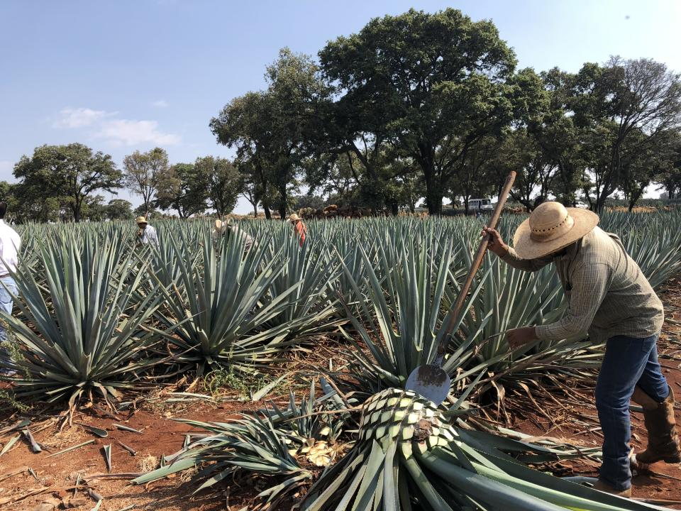 Jimadors harvesting agave at La Alteña distillery in Jalisco. Jimadors uses a coa, a round blade attached to 5-foot long handle, to shear the plants' sword-like leaves to reveal large piñas, or cores, which are then split and cooked in ovens for up to 72 hours. [Photo: May Ann Akers]