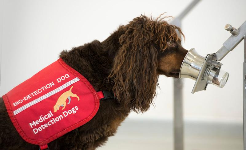 Asher the spaniel sniffs a sample in the training centre. (Photo: Medical Detection Dogs)