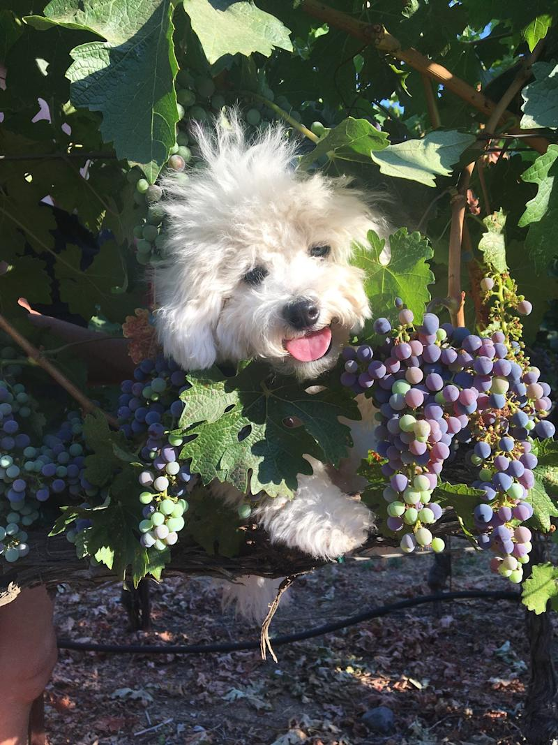 Snickers, the vineyard dog at Aratas Wine, takes his job very seriously. He has a special talent for charming guests.