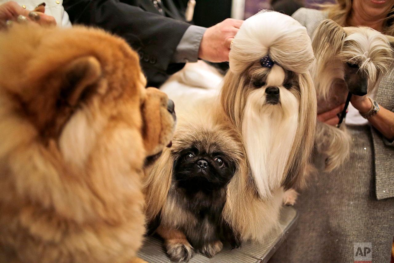 <p>Chinese dog breeds pose for a picture during a news conference in New York. The dogs were part of news conference to promote the 142nd Annual Westminster Kennel Club Dog Show, which is taking place in New York City starting Feb. 12, 2018. (AP Photo/Seth Wenig) </p>