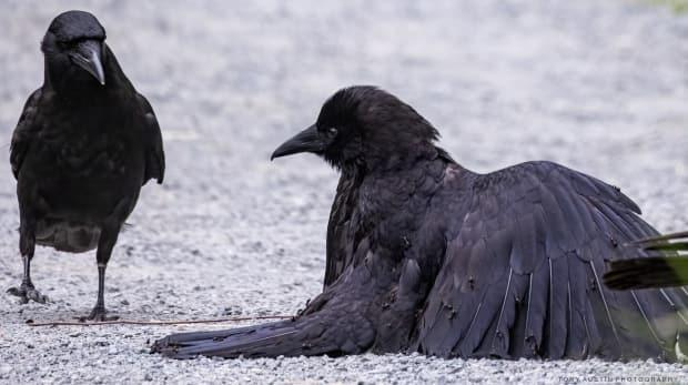Photographer Tony Austin of Metchosin, B.C., said he had no idea what he was observing until he enlarged this image of crows at Victoria's Swan Lake Nature Sanctuary on a computer screen and saw that one of the birds was covered in ants. (Tony Austin Photography - image credit)