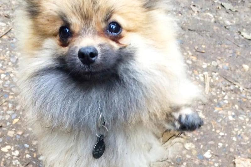 The woman claims her pomeranian puppy was kicked to death by thugs (file image)