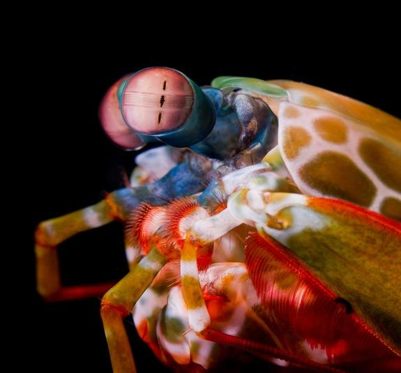 A close look at the complex eyes of a colorful mantis shrimp.