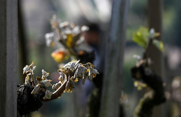 """Crops across France were """"destroyed in just a few hours"""" during a cold snap that followed warm weather"""