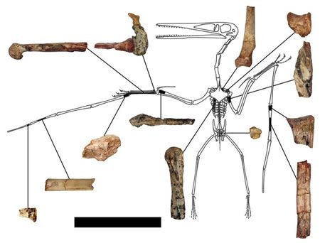 "The fragmentary remains of the Kryptodrakon progenitor found in the famed ""dinosaur death pits"" area of the Shishugou Formation in northwest China are seen in an undated illustration courtesy of Brian Andres. Scientists on Thursday said they have found a fossil from 163 million years ago that represents the oldest known example of a lineage of advanced flying reptiles that later would culminate in the largest flying creatures in Earth's history. REUTERS/Illustration by Brian Andres/Outline by Peter Wellnhofer/Handout"